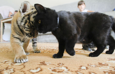 Baby Tigers Playing With Baby Boy Kitten Puppy News In Images Emirates24 7