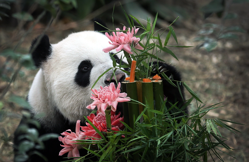 Kai Kai, a male Giant Panda sniffs at his custom-made birthday cake of bamboo, flowers and vegetables, Friday, Sept. 6, 2013, at the River Safari, ...