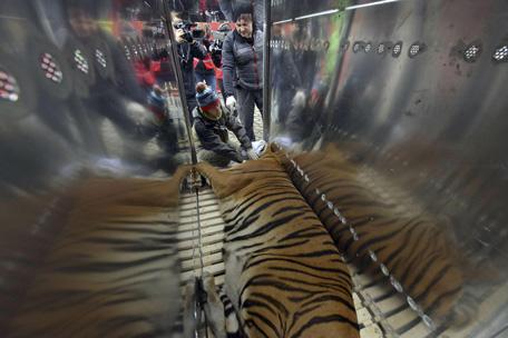 giant bengal cat